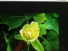Tulip Poplar, Liriodendron Tulipifera, in a quart container 7-9 Inches tall