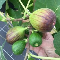 """8 Fig Trees GE Neri Fruits Live Plants 2"""" Pot Best Gift Garden Plant"""