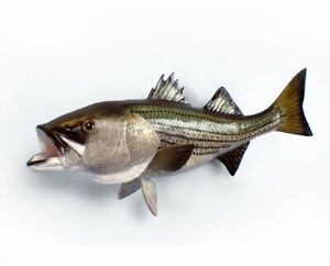 "Striped Bass 36"" Wall Art"