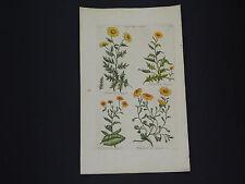 Sir John Hill, Botanical, The Vegetable System 1761-1775 Corn Marygold #05