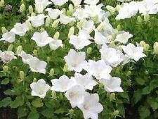 "CAMPANULA ~White Clips~ ""Campanula Carpatica"" ~Ground Cover~ 25+ Perennial Seeds"