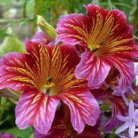 Salpiglossis Superbissima Blend HEIRLOOM Seeds Annual - Cut flowers, butterflies