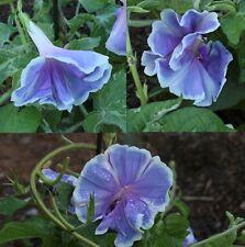 Japanese Morning Glory-FUJI NO SORA-Beautifu Bloomsl-10 seeds