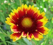 ARIZONA SUN GAILLARDIA (Blanket Flower / Indian Blanket Flower 20 Finest Seeds