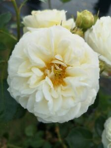 Clarence House   Climbing Rose  7ltr Potted Rose Plant   White
