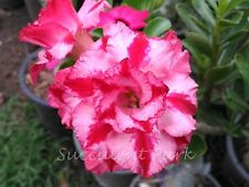 "Rosy Adenium Obesum (Desert Rose) ""Angel in Fire"" grafted plant"