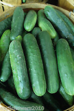 Cucumber Early Fortune  Finest Slicer! Early Maturing  Certified Organic Seeds