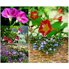 500Pcs Morning Glory Flower Plant Garden Bonsai Decor Mixed Vine Seeds Climbing