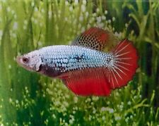 Thai Import Multicolor Sorority or Breeder Female HM Halfmoon Betta Live Fish