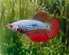 Thai Import Multicolor Sorority or Breeder Female HM Halfmoon Betta Live Fish
