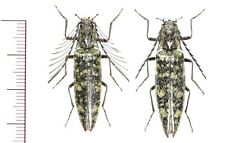 Elateridae:Pectocera yaeyam pair ,A1, unmounted,Japan,beetle