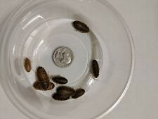 Live MEDIUM 1/2-3/4 inches Medium Dubia Roaches Blaptica Feeder Dubai Roaches