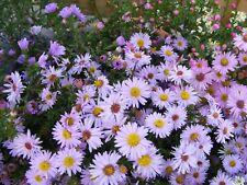 6 MICHAELMAS DAISY 'ASTER NOVAE BELGII' MEDIUM PLUG PLANTS