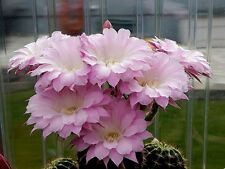 EXQUISITE PINK Echinopsis Hybrid Cactus Plant-Extraordinary Bloom- Rooted Offset
