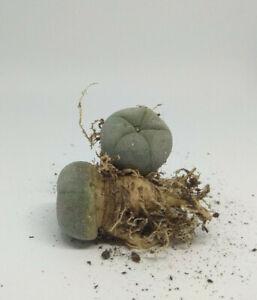 Lophophora w Ariocarpus 1.5-2cm ⌀ 3yo hard grown from seed cactus succulent