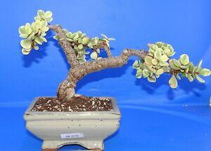 38075Crassula portulacaria afra variegata, JADE BONSAI, XXL! phyto available