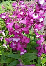 Penstemon hartwegii - Hardy Perennial x 100 SEED - Bee Friendly!