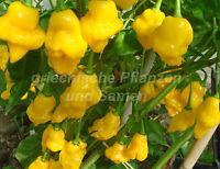 🔥 🌶️ TRINIDAD PERFUME Chili 10 Samen süß für Kinder fruchtig Chilis Balkon