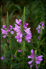 obedient plant, Lion'S Heart, pink flower, 10 Seeds! GroCo