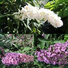 3 Schmetterlingsflieder, Buddleja White Profusion, pink delight, nanho blue