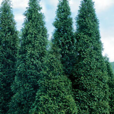 Coniferous Seeds - GIANT GREEN THUJA - Great Privacy Tree - 25 Seeds