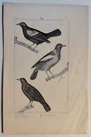 Trupiale / Troupiale / Vögel - antik Steindruck - um 1800 - Buffon