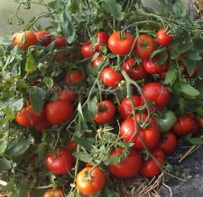 Early Tomato- MONGOLIAN DWARF - 20 Heirloom Vegetable Seeds-Rare Russian Variety