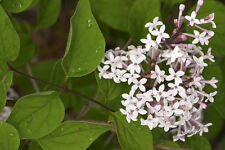 Syringa microphylla (Dwarf Lilac) - Lovely Shrub Growing to only 6ft - 25 seeds
