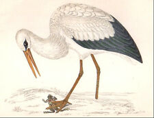 1860's vintage WHITE STORK bird original hand painted engraving