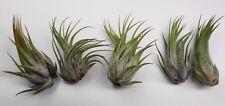 10 Pack Large Tillandsia Ionantha Scaposa $1ea. Wholesale Air Plants