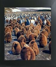 King Penguins Colony Wildlife Contemporary Black Framed Wall Decor Picture 20x24