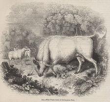 ANTIQUE 1845 PRINT PRIZE COW CHILLINGHAM PARK WHITE CATTLE SHOW FARM BREEDING 2