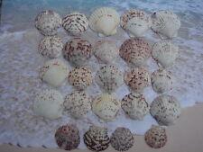 SEA SHELLS 24 PURPLE CALICO SCALLOPS FROM SARASOTA,FLORIDA, WEDDINGS, CRAFTS