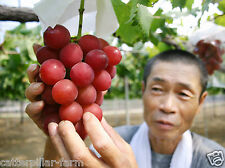 Rare Japanese Ruby Roman Grapes Extra Super Sweet 20 Bonsai Seeds, Super Sweet
