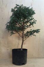 Beautiful Blue Moss Cypress Pre Bonsai Tree Kifu   Soft Needles Thick Trunk