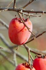 "SUGAR PLUM, WILD Persimmon tree, common persimmon LIVE SEEDLING 15-24"""
