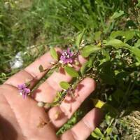 RARE Goji Berry 1 LIVE Rooted PLANT NOT SEEDS Amazing