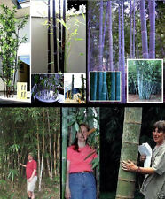 Winterhartes Bambussortiment : Schwarzer- Blauer- Riesen- & Wasserbambus / Samen