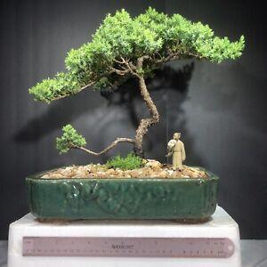 Japanese Juniper, traditional bonsai, 15years old
