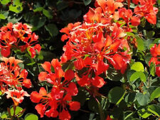 Bauhinia Galpinii rare RED ORCHID TREE exotic flower bonsai plant  seed 25 seeds