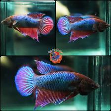 Live Betta Fish Female Fancy Shocking Pink Metallic Blue Veil Tail #B217