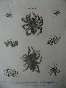 Spiders! 1795 Engraving Aranea. Ency. Londinensis