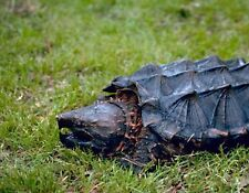 METAL REGRIGERATOR MAGNET Alligator Snapping Turtle Walking In Grass