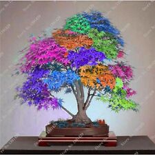 Acer Palmatum Arce ARCO IRIS MULTICOLOR 30 semillas Bonsai arce japones