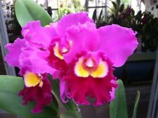 Blc. Chance the Chance `Kiramaki' Cattleya Orchid Plant