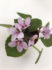 African Violet Plant- Classic Rock (semiminiature)