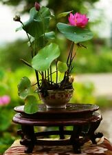 10 seeds Nelumbo nucifera,Bowl Lotus seeds,Bonsai Lotus,can grow in little bowls