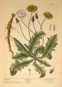 Dandelion ELIZABETH BLACKWELL A Curious Herbal. Vintage Botanical Poster