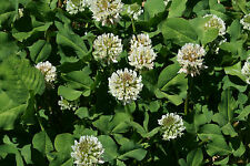 50 Lb C White Ladino Clover Seeds (Food Plot)