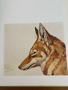 "Louis Agassiz Fuertes & The Singular Beauty of Birds, ""Abyssinian Wolf"" Print"